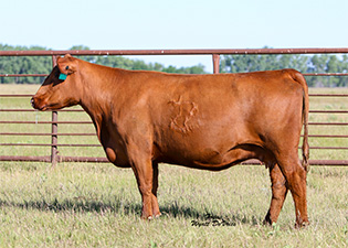 Frey Red Angus Dispersal